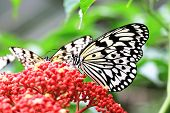 picture of nymphs  - Large Tree Nymphs butterflies and flowers,two beautiful butterflies on the red flowers in garden,Paper Kite butterfly,