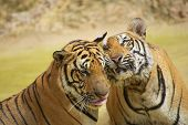 stock photo of cute tiger  - Adult Indochinese tigers rub cheeks - JPG