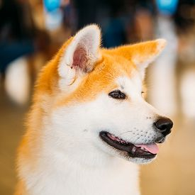 stock photo of akita-inu  - Akita Dog Akita Inu - JPG