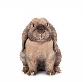 pic of dwarf rabbit  - Dwarf lop - JPG