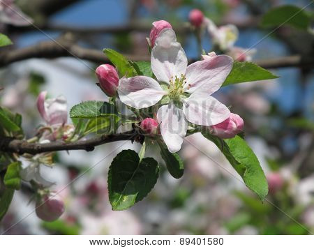 blooms of apple tree