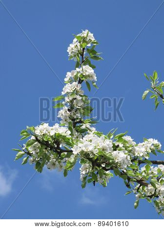 blooming twigs
