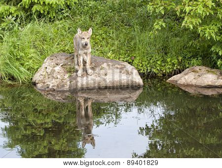Wolf Pup with Reflection in Lake
