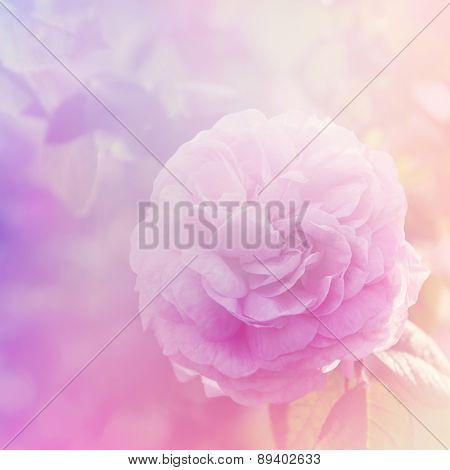 Rose Flower In The Garden