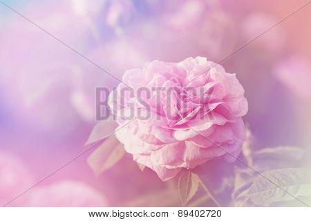 Rose Flower In Sunny Day