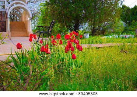 Outdoor Garden Tulips