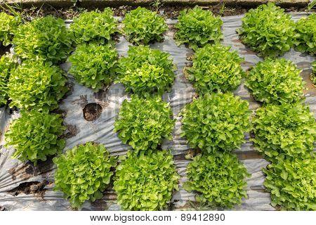 Organic salads in a tropical vegetable garden