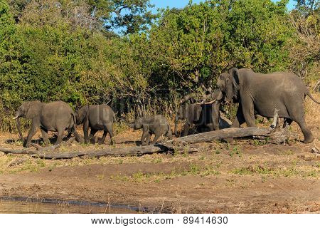 Group And Baby Elephant Walking Chobe Botswana Africa