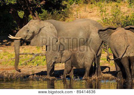 Mother And Baby Elephant Drinking Chobe Botswana