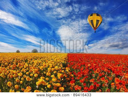 Big balloon flies over field of flowering.  Blooming red and yellow buttercups in spring in Israel