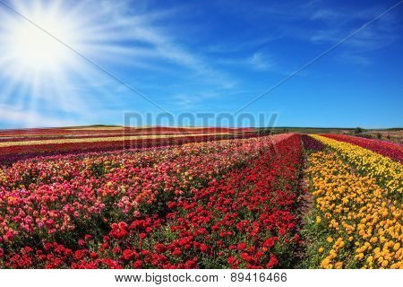 Bright spring sun.  Flowers planted with broad bands of bright colors - red  and yellow. Field of multi-colored decorative buttercups Ranunculus Bloomingdale