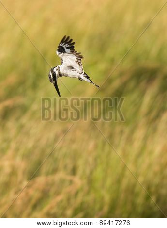 Pied Kingfisher hovering over a pond fishing, Tanzania