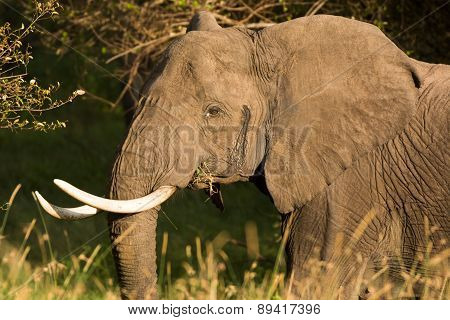 Portrait of an elephant chewing on mouthful of grass, Tanzania