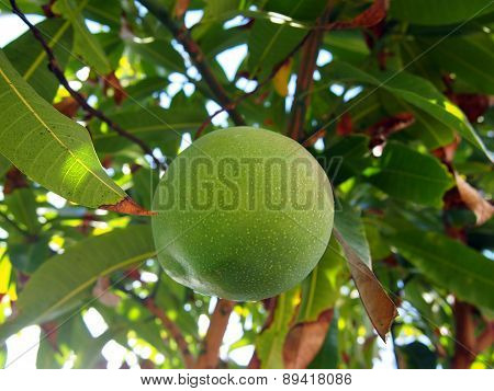Green Mango Hangs From Tree