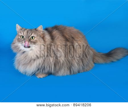 Tricolor Fluffy Cat Lying On Blue