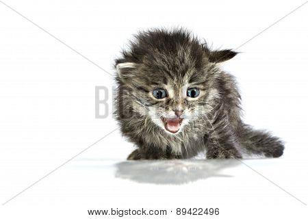 Mewing Cute Helpless Two-weeks Old Kitten
