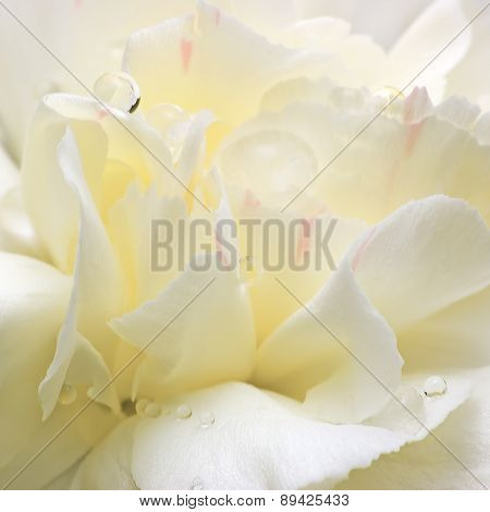 Abstract White Flower Petals, Detailed Macro Closeup, Water Dew Drops
