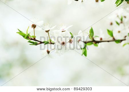 Cherry blossoms over blurred nature background, close up