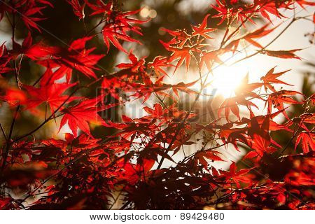 Spring Sunny Day And Red Leaves On A Tree