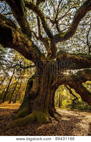 Angel Oak Tree 2