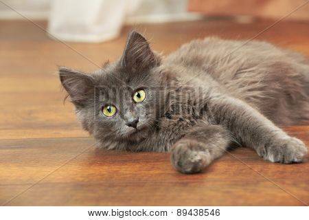 Cute gray kitten plays on floor at home