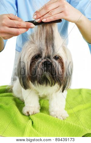 Cute Shih Tzu and hairdresser in barbershop, closeup