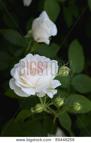 Delicate Pale Pink Rose On The Bush