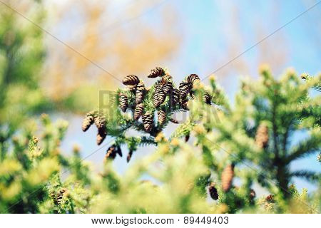 Cones on fir-tree, outdoors