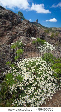Gran Canaria, Caldera De Tejeda, Flowers