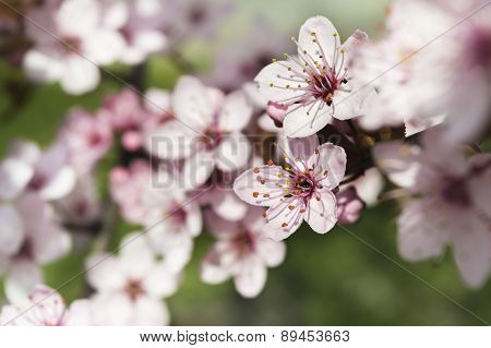 Cherry Blossom On A Tree Over Blurred Background