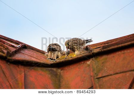 Two Young Falcons Kestrels Sitting And Eating On A Roof