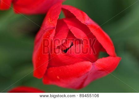 Red tulip, macro shot
