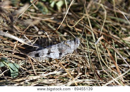 The Blue-winged Grasshopper, Oedipoda Caerulescens In A Dry Grass