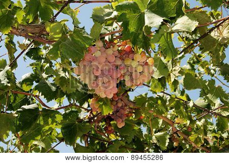 Ripe Grapes on vine, Spain.