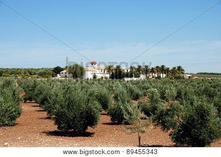 Olive grove, Montilla.