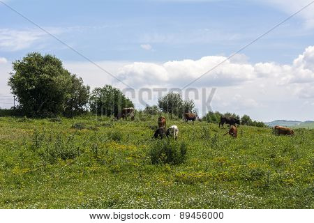 Bulls Grazing In The Field