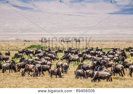Herd Of Wildebeest In The Nogorongoro Crater