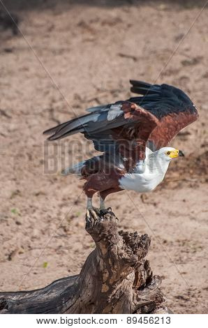 Fish Eagle Taking Flight