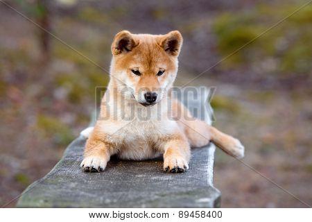 red shiba-inu puppy portrait
