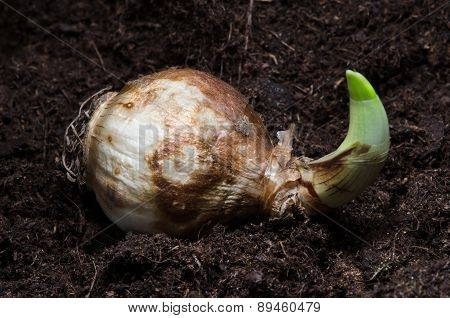 Narcissus Bulb