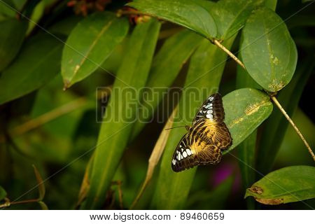 Parthenos Sylvia - Clipper