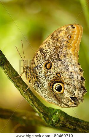 Caligo Eurilochus - Owl Butterfly