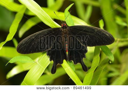 Papilio Memnon - Great Mormon, Male