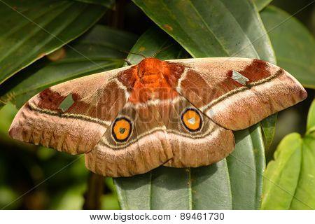 Bunaea Alcinoe - Cabbage Tree Emperor Moth