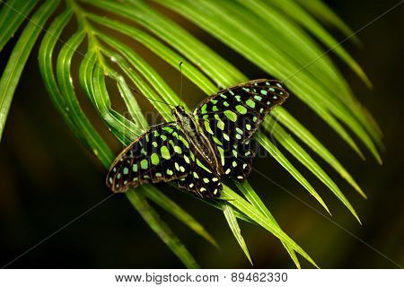 Graphium Agamemnon - Tailed Jay Butterfly
