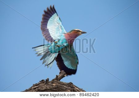 Beautiful Lilac Breasted Roller Take Off From A Perch To Hunt Insects