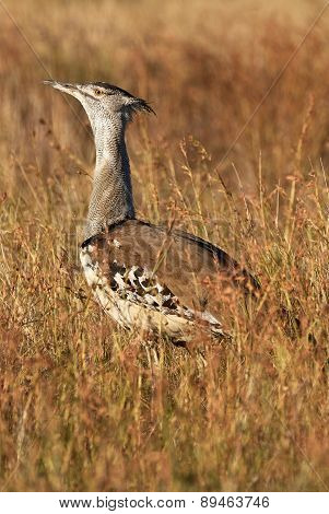 Kori Bustard In Tall Yellow Grass