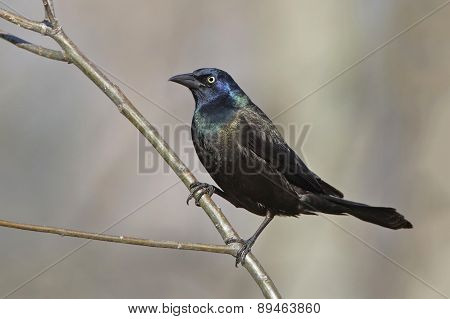 Male Common Grackle Perched On A Tree Branch