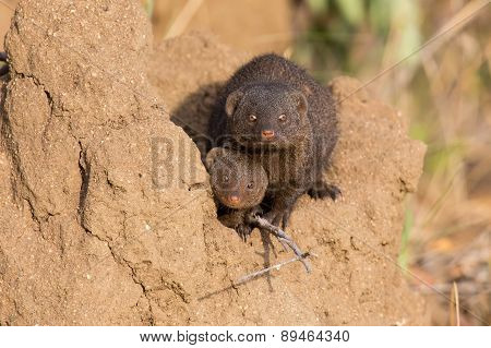Dwarf Mongoose Family Enjoy The Safety Of A Burrow
