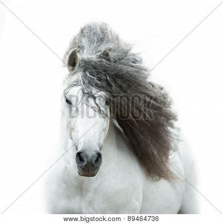 Andalusian Horse In High Key
